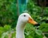 Duckaluck